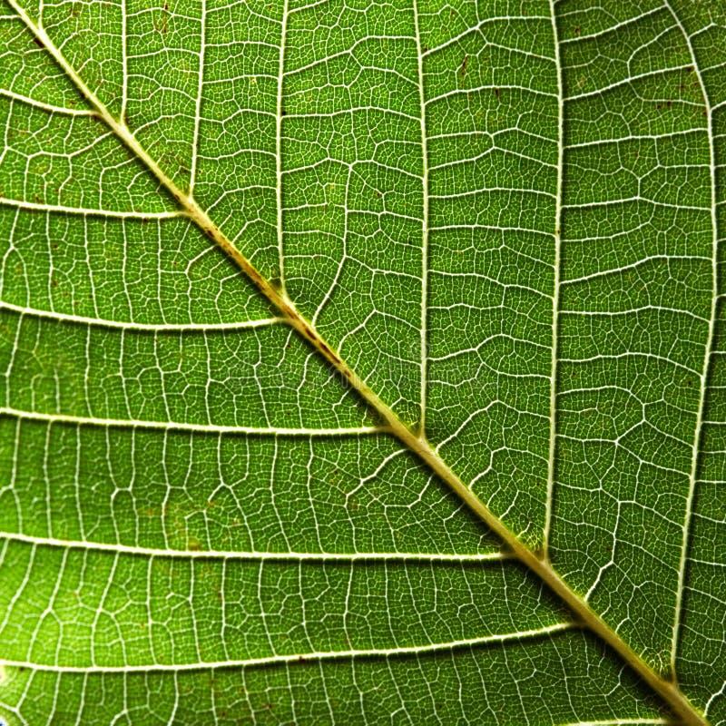 绿色叶子的美好的自然样式有静脉的 您的想法的创造性的背景 宏观照片 顶视图 免版税库存图片