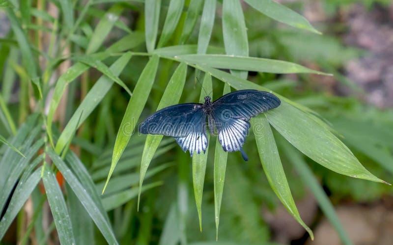 绿色叶子的Papilio memnon了不起的摩门教徒 免版税图库摄影
