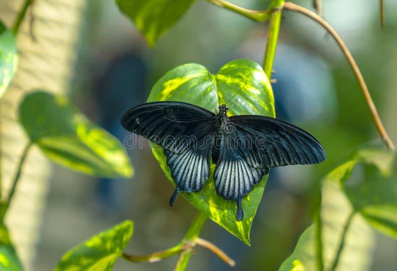 绿色叶子的Papilio memnon了不起的摩门教徒 库存照片