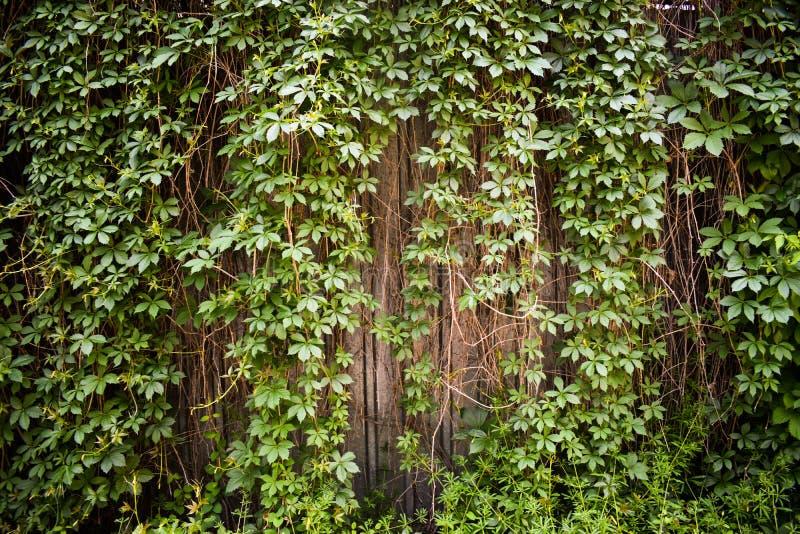 绿色叶子种植纹理背景 在篱芭的新鲜的深绿上升的常春藤完善对背景或被称呼的横幅 免版税库存图片