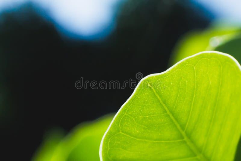 绿色叶子纹理迷离背景,宏观树叶子 库存照片