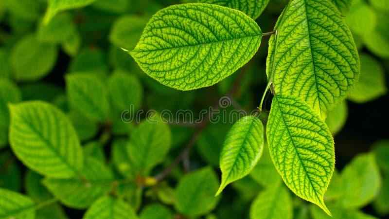 绿色叶子美好的花卉背景留下自然花卉背景樱桃阳光樱桃树叶子与图片