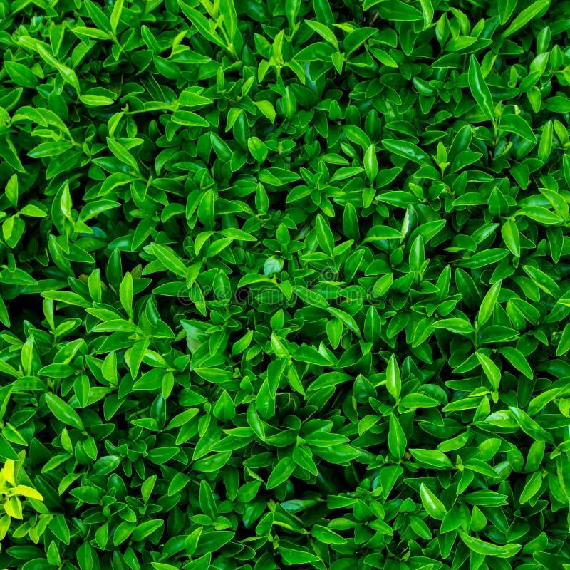 绿色叶子背景/绿色在黑背景留下热带森林植物的墙壁纹理, 免版税图库摄影