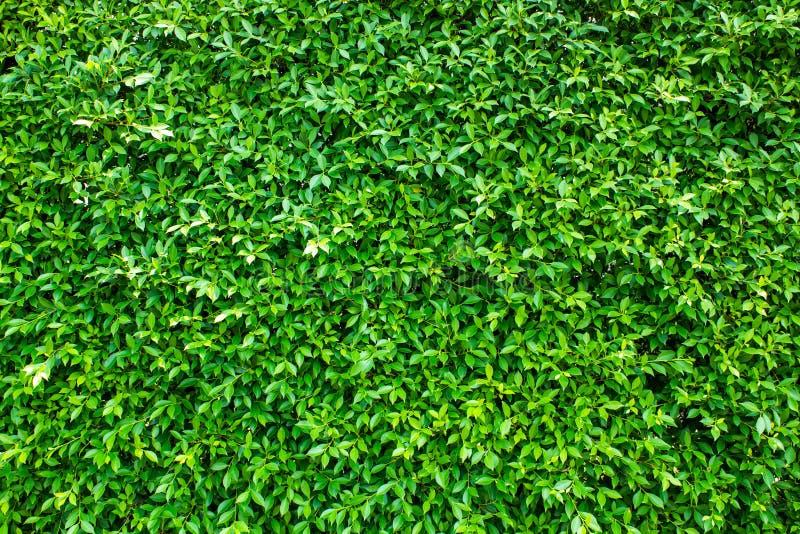 绿色叶子背景/绿色在黑背景留下热带森林植物的墙壁纹理, 免版税库存图片