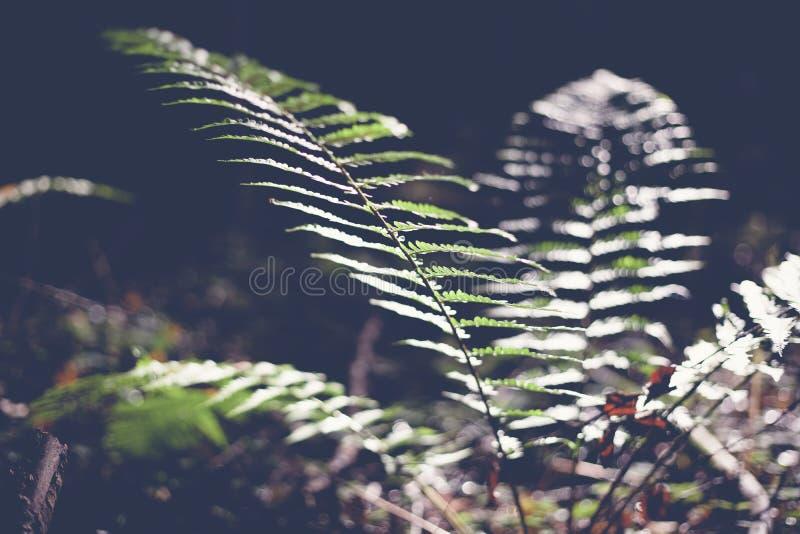 绿色叶子蕨、抽象自然本底和纹理在黑暗 库存图片