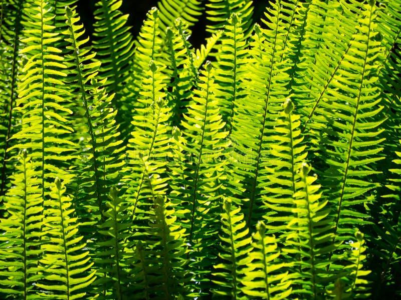 绿色叶子蕨庭院的美好的关闭在一个热带植物园的一个春季的 免版税图库摄影