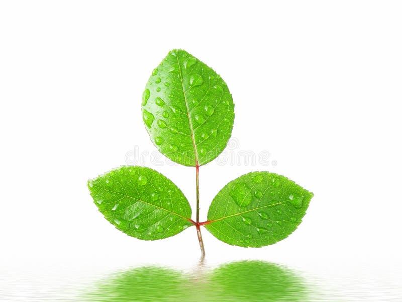 绿色叶子被反射的水 免版税库存照片