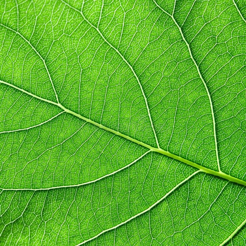绿色叶子详细的宏观照片有静脉的 您的想法的自然本底 平的位置 库存照片