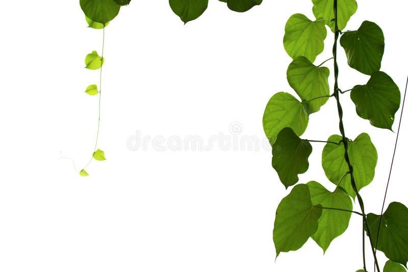 绿色叶子隔绝与在白色背景的裁减路线 库存图片