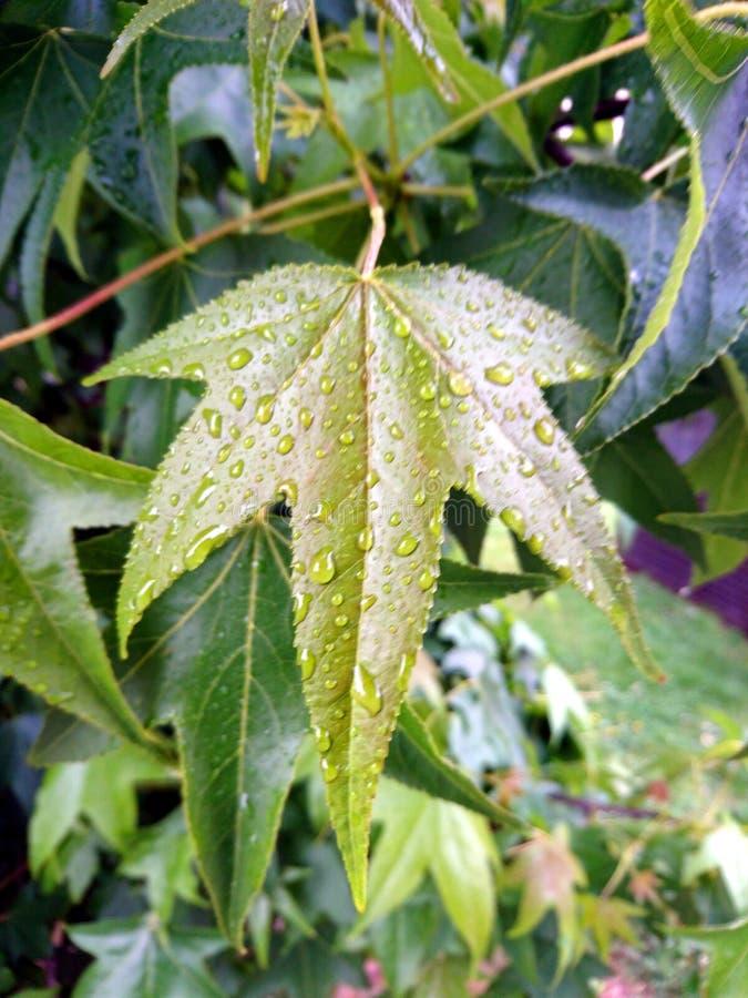 绿色叶子 生态,背景 在一片叶子的雨珠在大雨以后,在绿色背景 免版税图库摄影