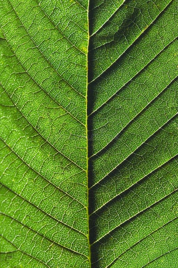 绿色叶子 自然成脉络的样式宏观照片作为创造性的背景 顶视图 免版税图库摄影