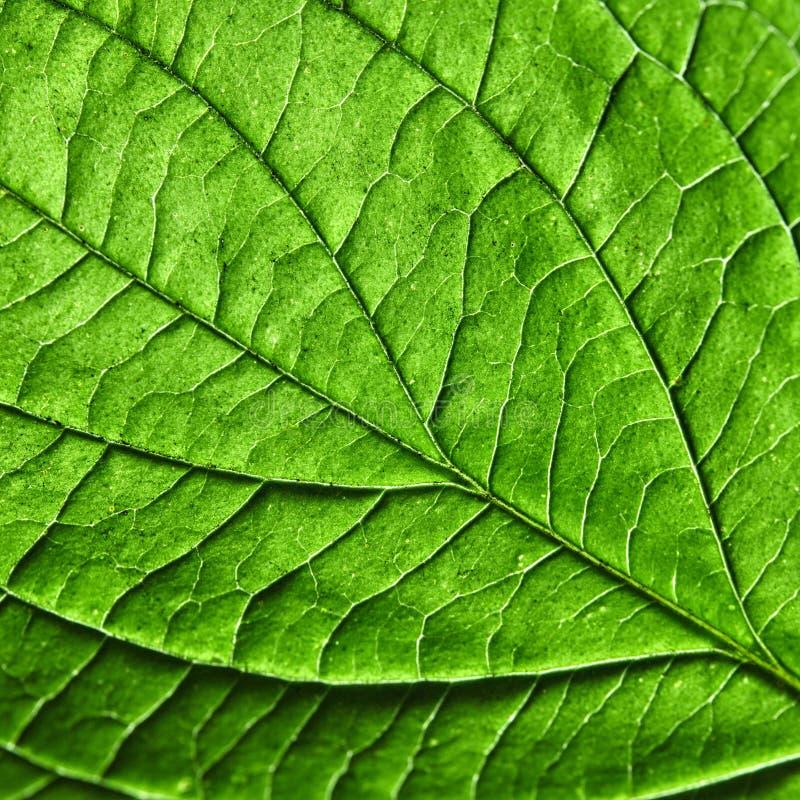 绿色叶子 详细的宏观照片作为您的想法的一种自然布局 平的位置 免版税图库摄影