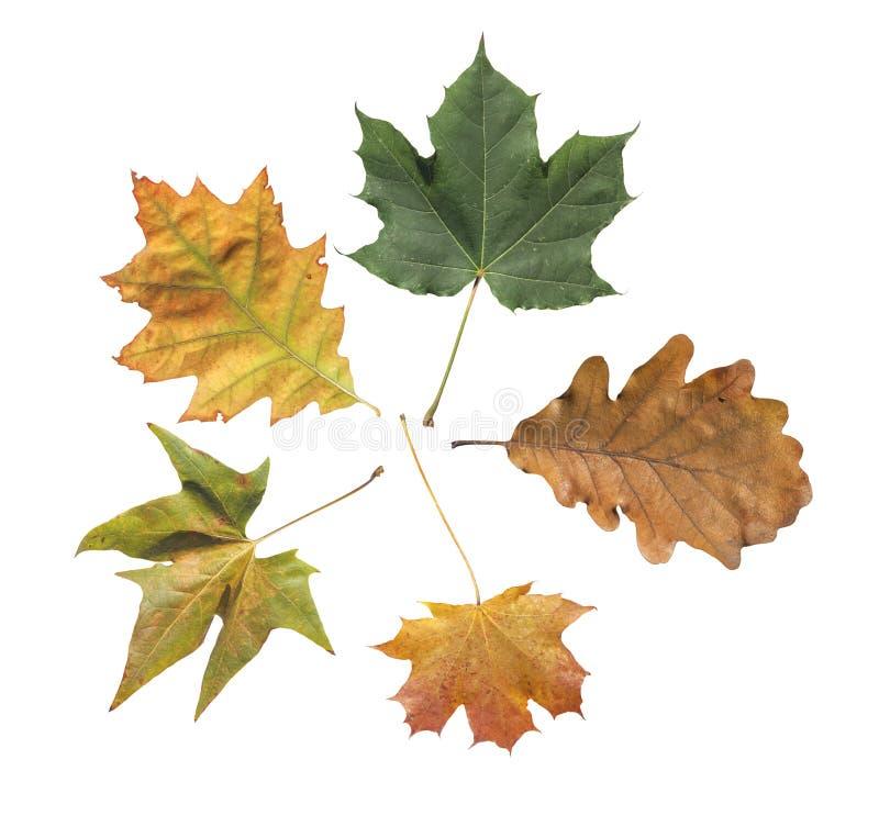 绿色和染黄从在白色隔绝的公园的五秋天叶子 图库摄影