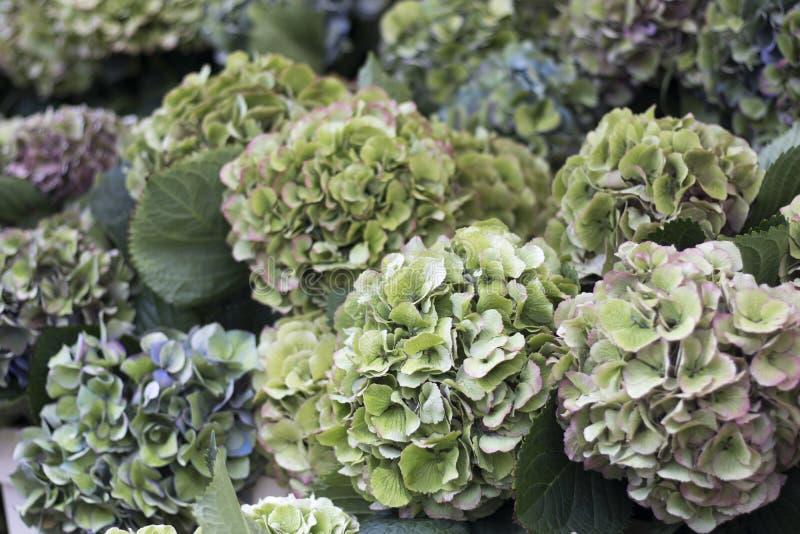 绿色和桃红色八仙花属在庭院里在秋天 免版税库存照片