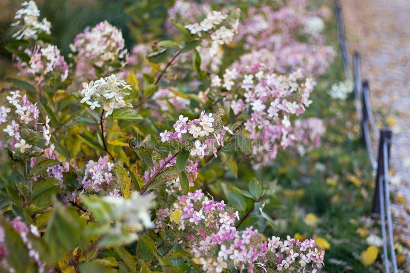 绿色和桃红色八仙花属在庭院里在秋天 免版税图库摄影