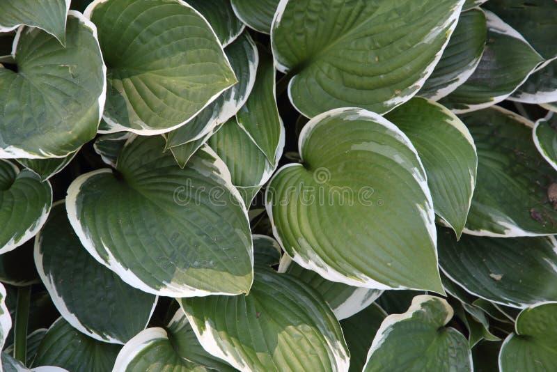 绿色和白色叶子织地不很细背景  免版税图库摄影