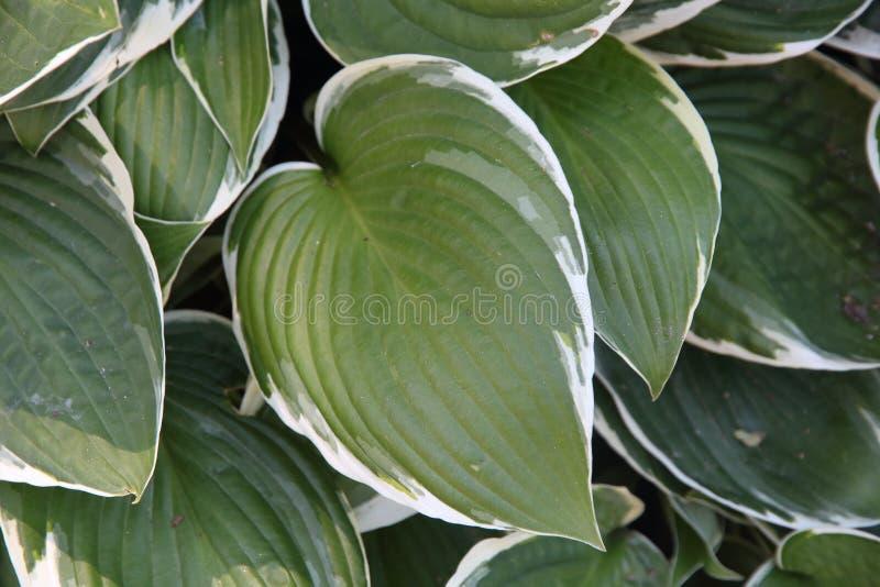 绿色和白色叶子织地不很细背景  免版税库存照片