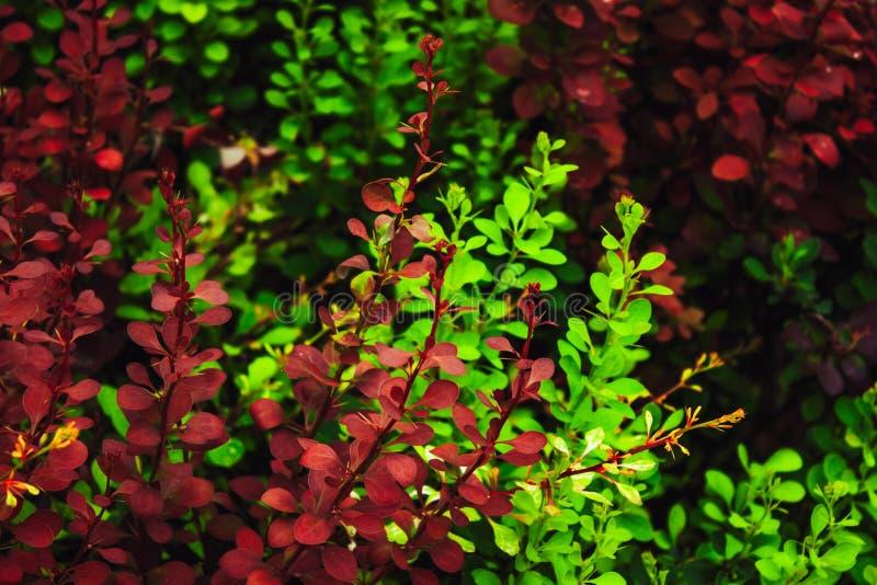 绿色和红色叶子 库存照片