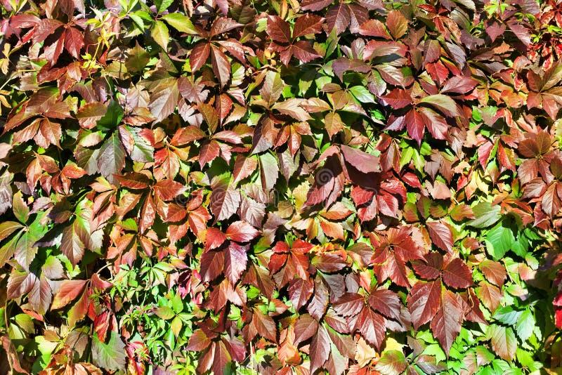 绿色和红葡萄叶子背景,五颜六色的叶子纹理背景关闭,秋天或者夏天设计,拷贝空间 库存照片