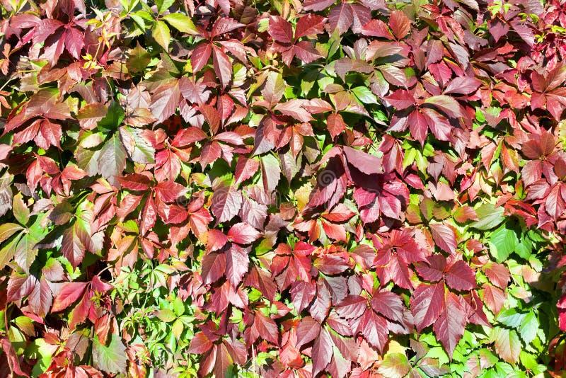 绿色和红葡萄叶子背景,爬山虎属或弗吉尼亚爬行物上升的植物,五颜六色的叶子纹理背景关闭 图库摄影