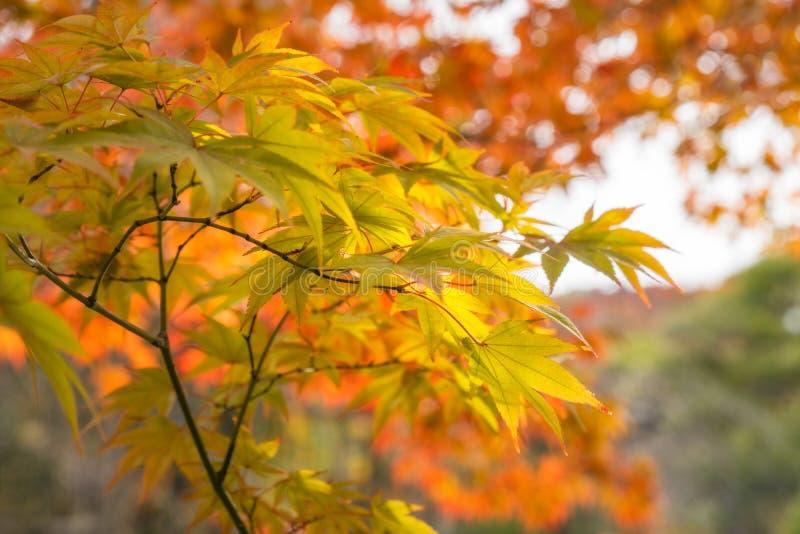 绿色和金枫叶在Koko en庭院在姬路,日本 免版税库存照片