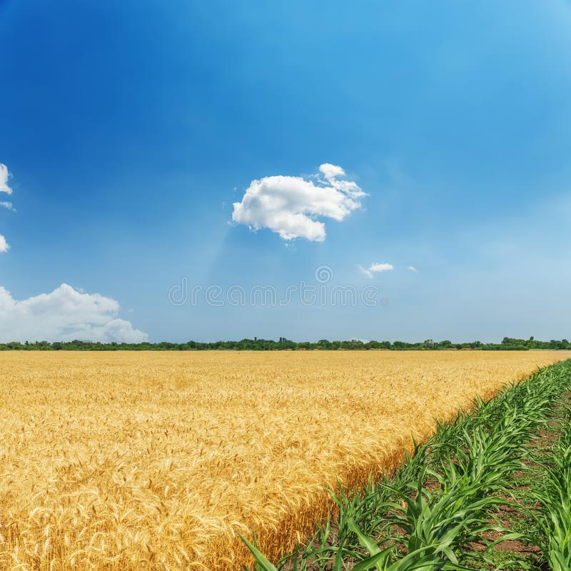 绿色和金黄颜色农业领域和蓝天 免版税库存照片