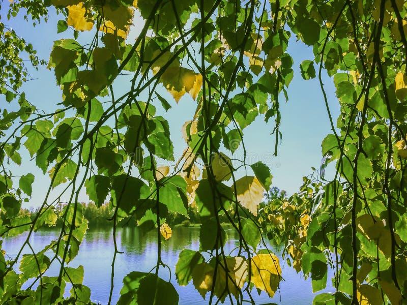 绿色和黄色叶子桦树在河海岸晴朗的秋天天 图库摄影