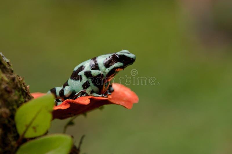 绿色和黑色毒物箭青蛙 免版税库存图片