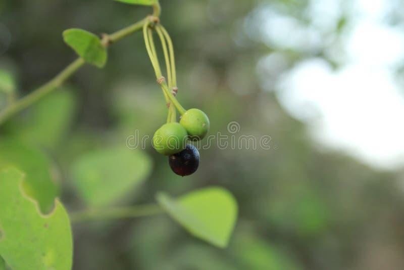 绿色和黑莓果 免版税库存图片