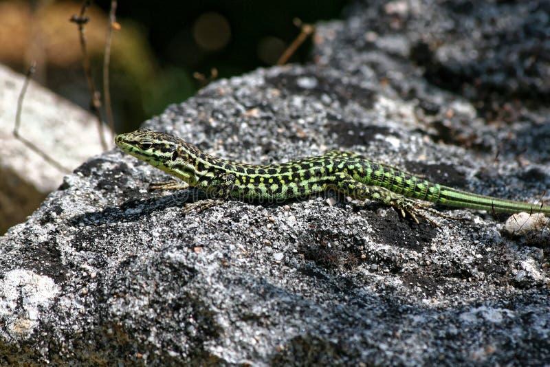 绿色和黑蜥蜴2 库存照片