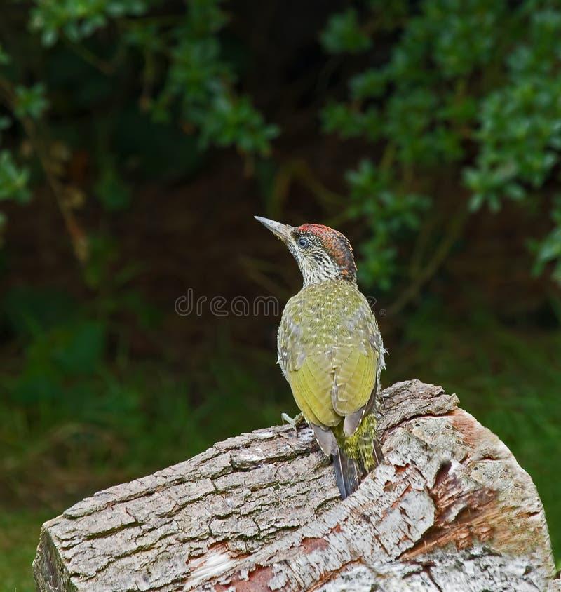 绿色啄木鸟 库存照片