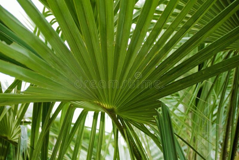 绿色图表棕榈叶背景  免版税库存图片