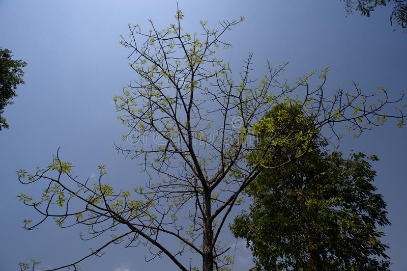 绿色在桑格阿姆内尔艾哈迈德讷格尔县,马哈拉施特拉附近生叶丝绸棉花树 库存图片
