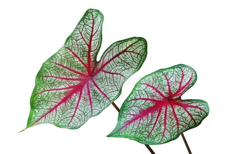 绿色在白色背景留下贝母热带植物红色静脉被隔绝的 图库摄影