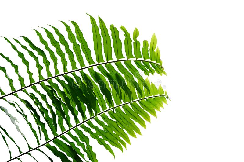 绿色在白色背景隔绝的叶子蕨热带雨林叶子植物自然叶子样式,裁减路线包括 图库摄影