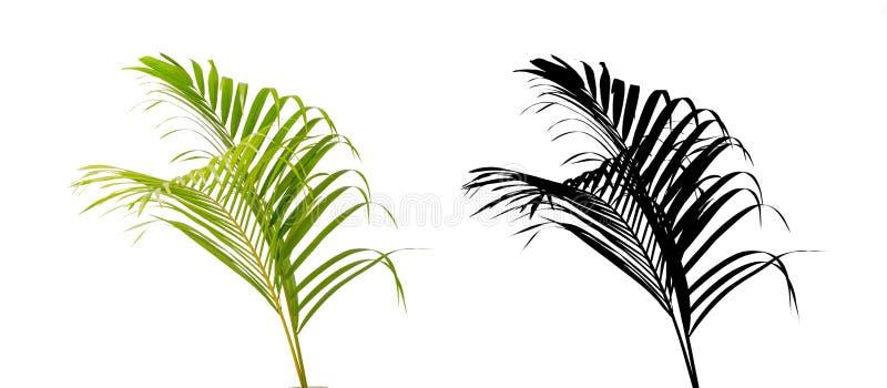 绿色在白色背景隔绝的棕榈叶和剪影. 工厂, 剪影.图片