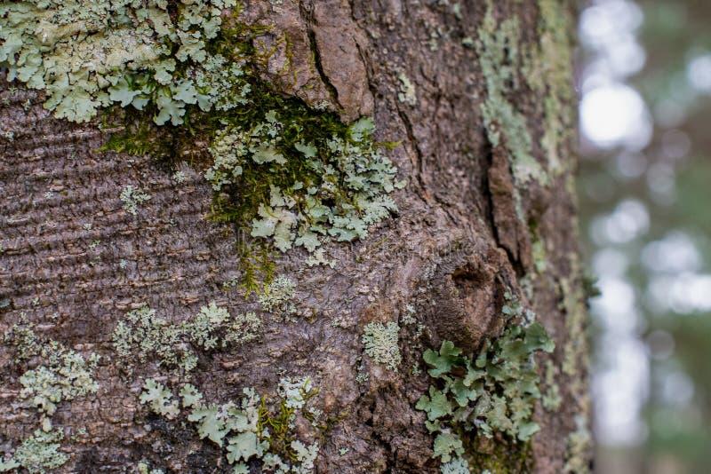 绿色地衣和青苔在一棵树分层了堆积在森林里 免版税图库摄影