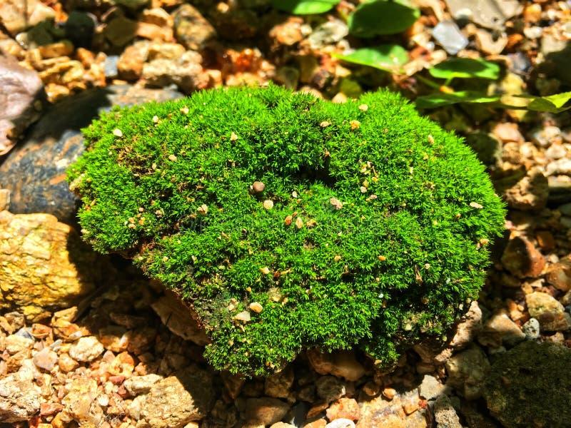 绿色地衣在岩石增长并且扩展在被日光照射了下 库存照片
