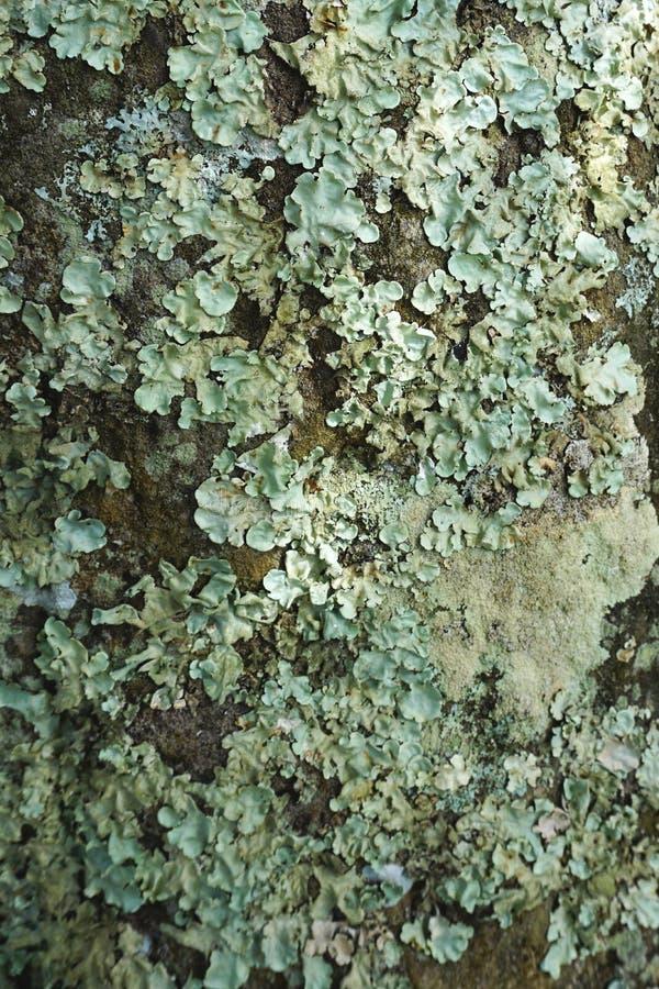 绿色地衣特写镜头在概略的石头摘要垂直的背景纹理的 免版税库存图片