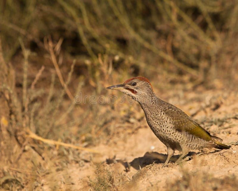 绿色地面啄木鸟 库存图片