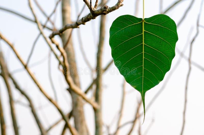 绿色垂悬在树的Bodhi叶子 免版税库存图片