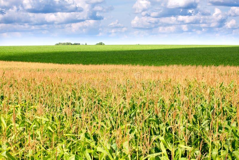 绿色域用玉米 免版税图库摄影