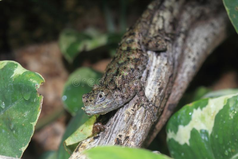 绿色多刺的蜥蜴 免版税库存图片