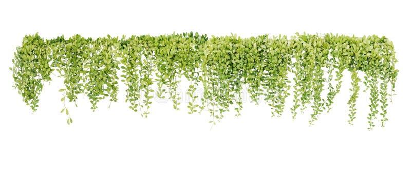 绿色多汁植物离开垂悬的藤攀登附生植物Dischidia sp的常春藤灌木 在雨以后在热带雨林庭院里 图库摄影