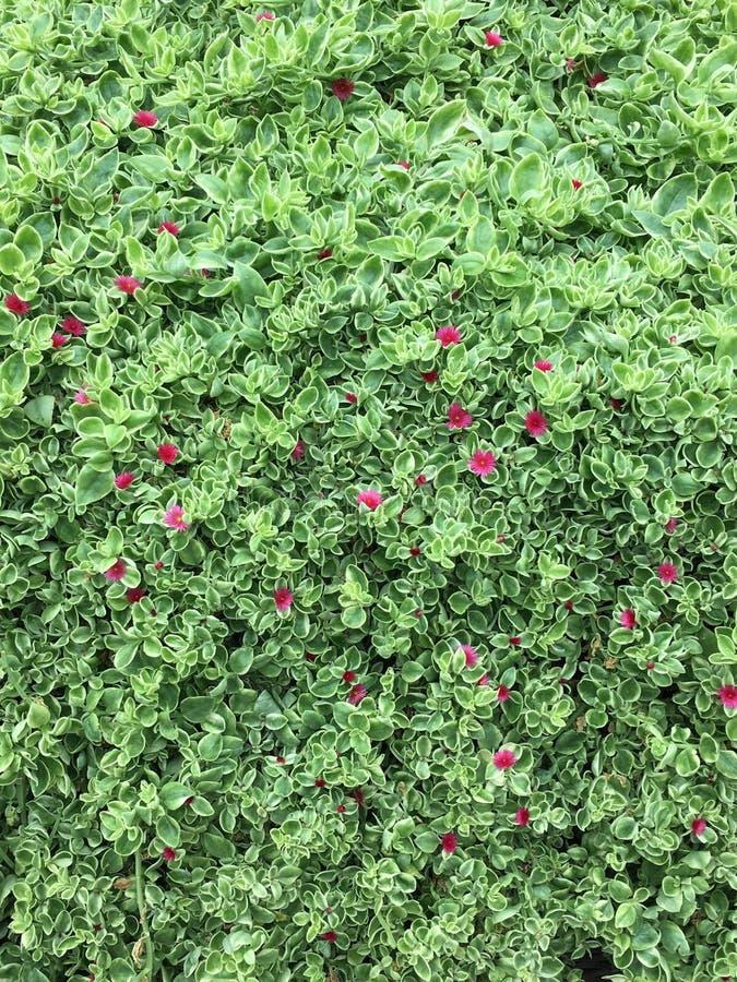 绿色多汁植物 免版税库存图片