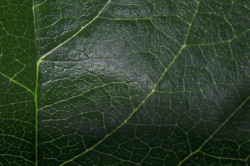 绿色大新鲜的叶子射击特写镜头透亮在阳光下 免版税库存图片