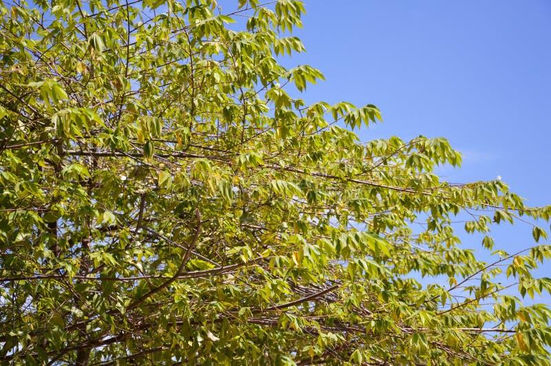绿色大风子科rukam在自然庭院离开 免版税图库摄影