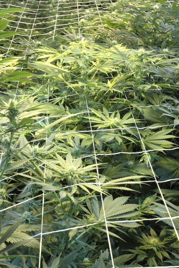 绿色大麻种植屏幕 免版税库存图片