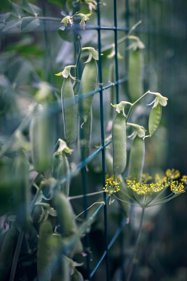 绿色嫩年轻豌豆 库存照片