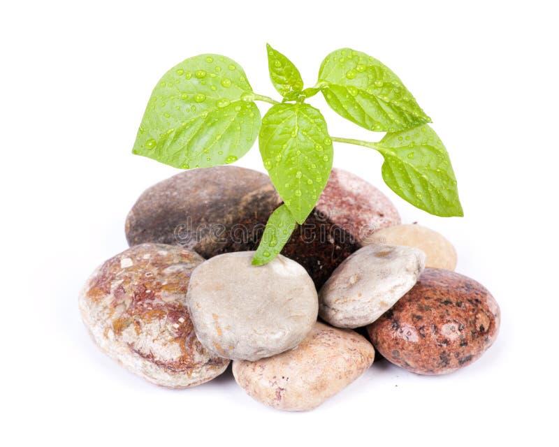 绿色小的新芽石头 图库摄影